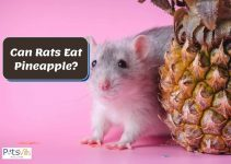 Can Rats Eat Pineapple? Is it Good for Them?