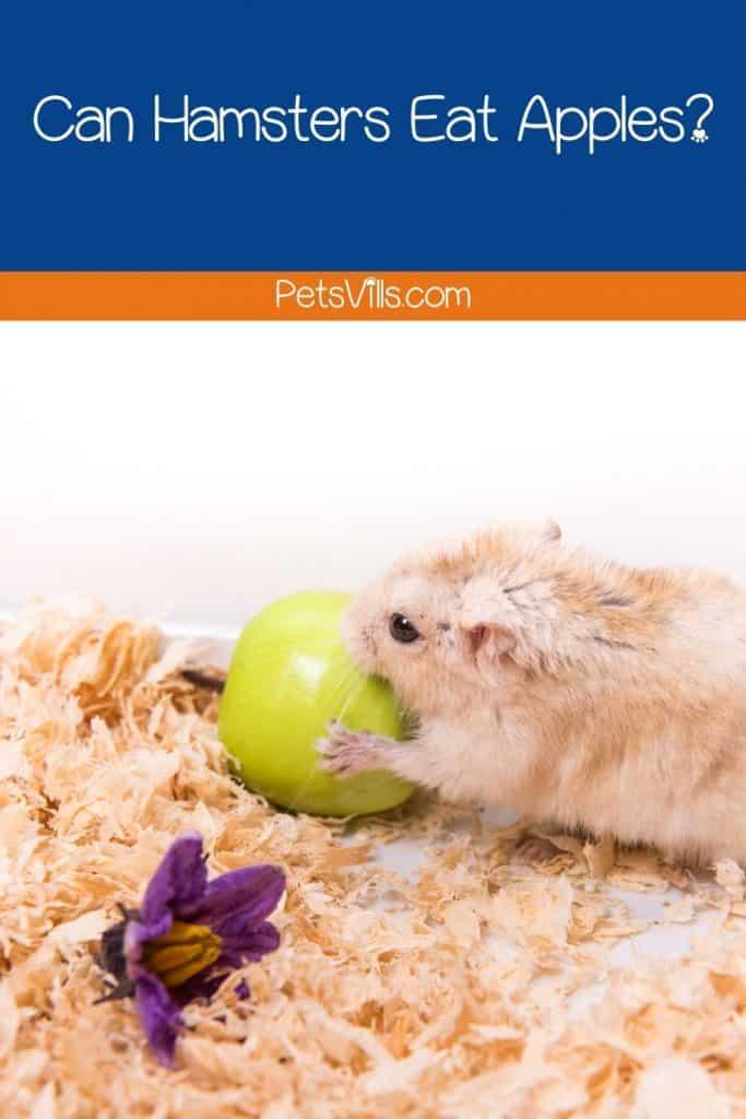 a hamster eating apple
