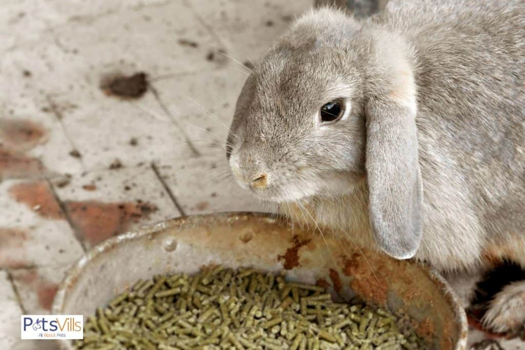 a dirty rabbit food dish that need to be clean
