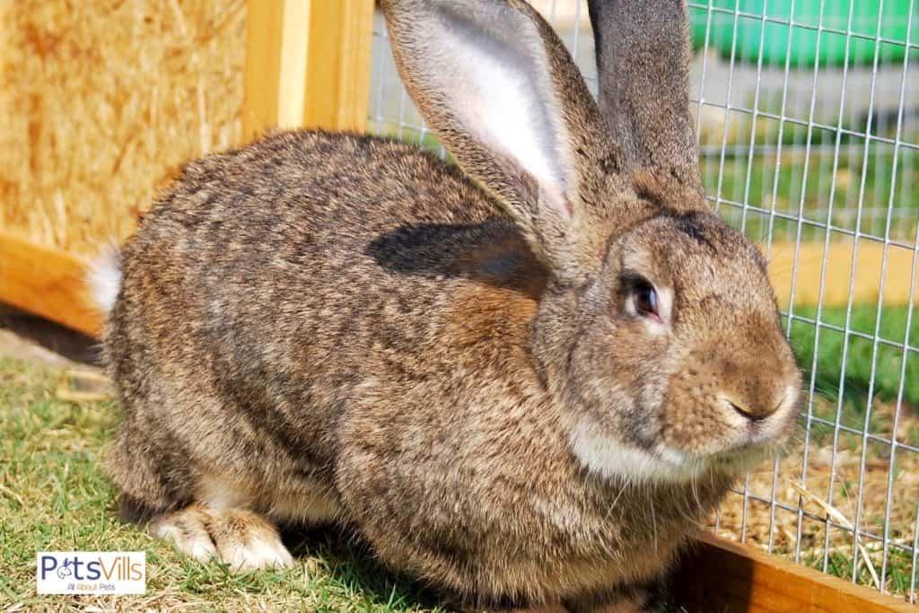 a cute brown continental giant rabbit