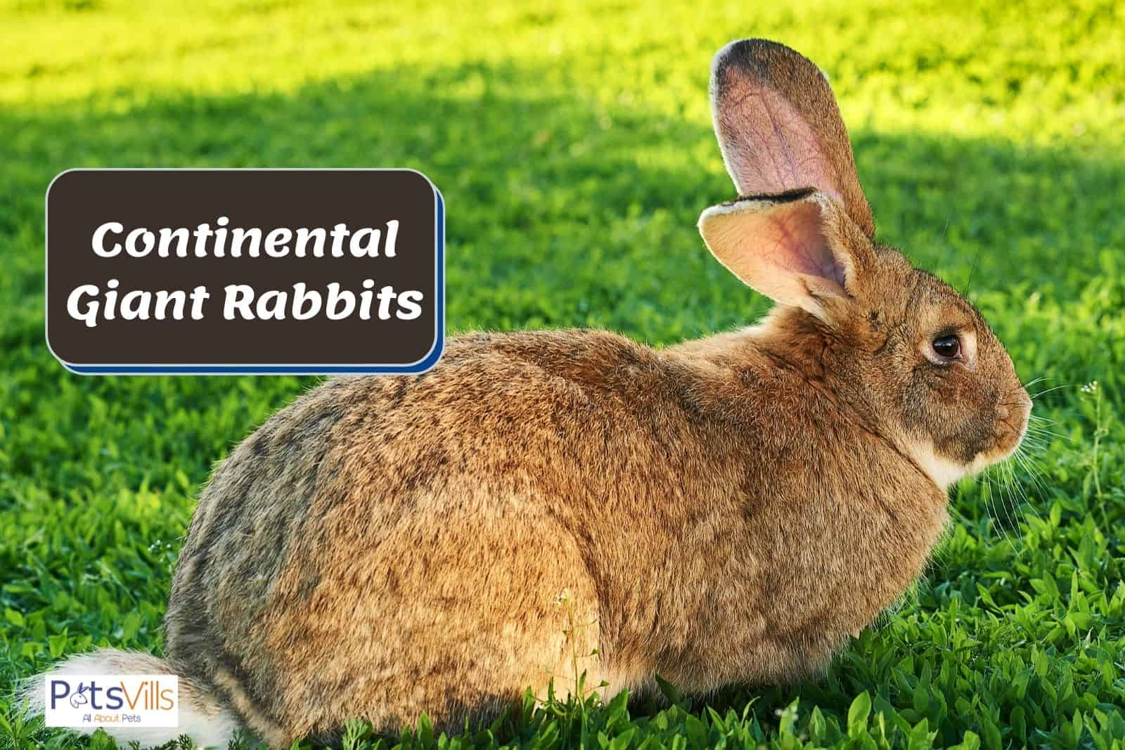 Continental Giant Rabbit sitting on the grasses