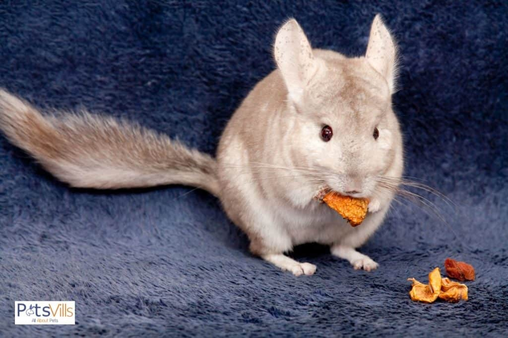 a chinchilla eating cracker,can chinchillas eat guinea pig food