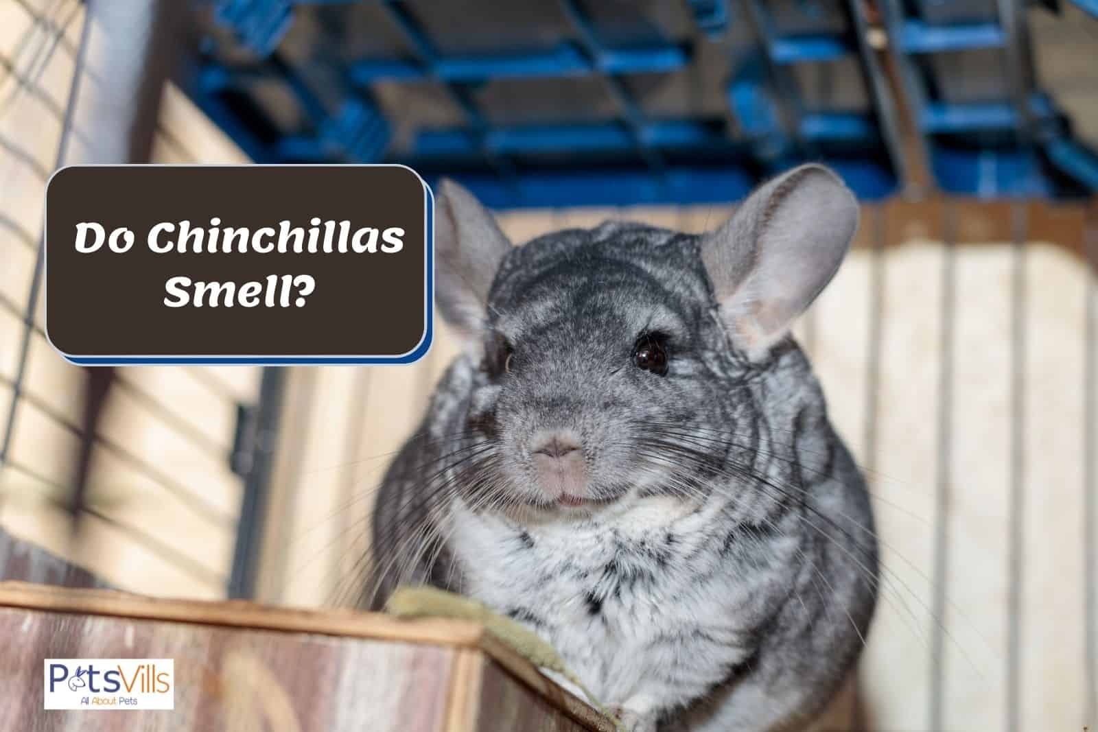 a chinchilla staring outside the cage