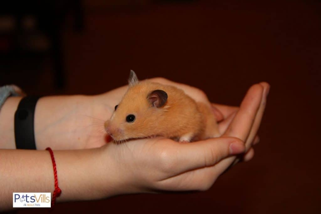 a hamster in a women's  hand, do female hamsters have periods