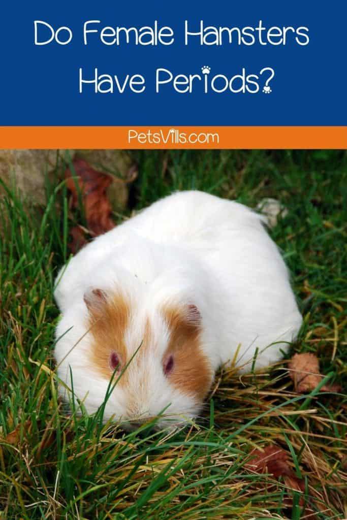 a female hamster in heat