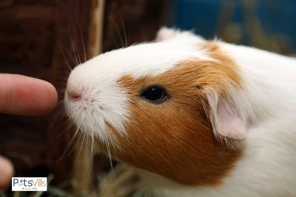 a guinea pig trying to bite on finger, do guinea pigs bite
