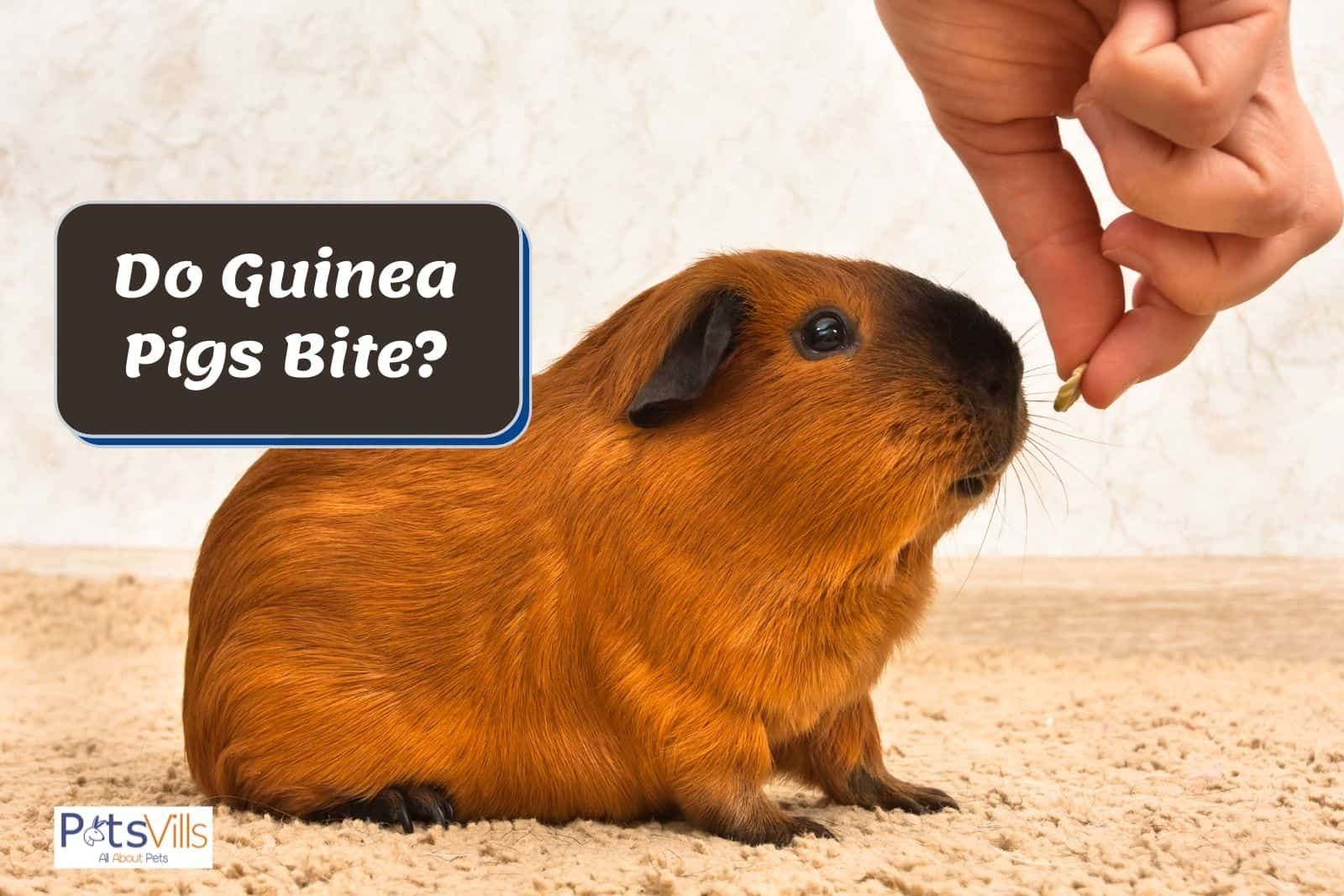 hand giving food to a cavy but do guinea pigs bite?
