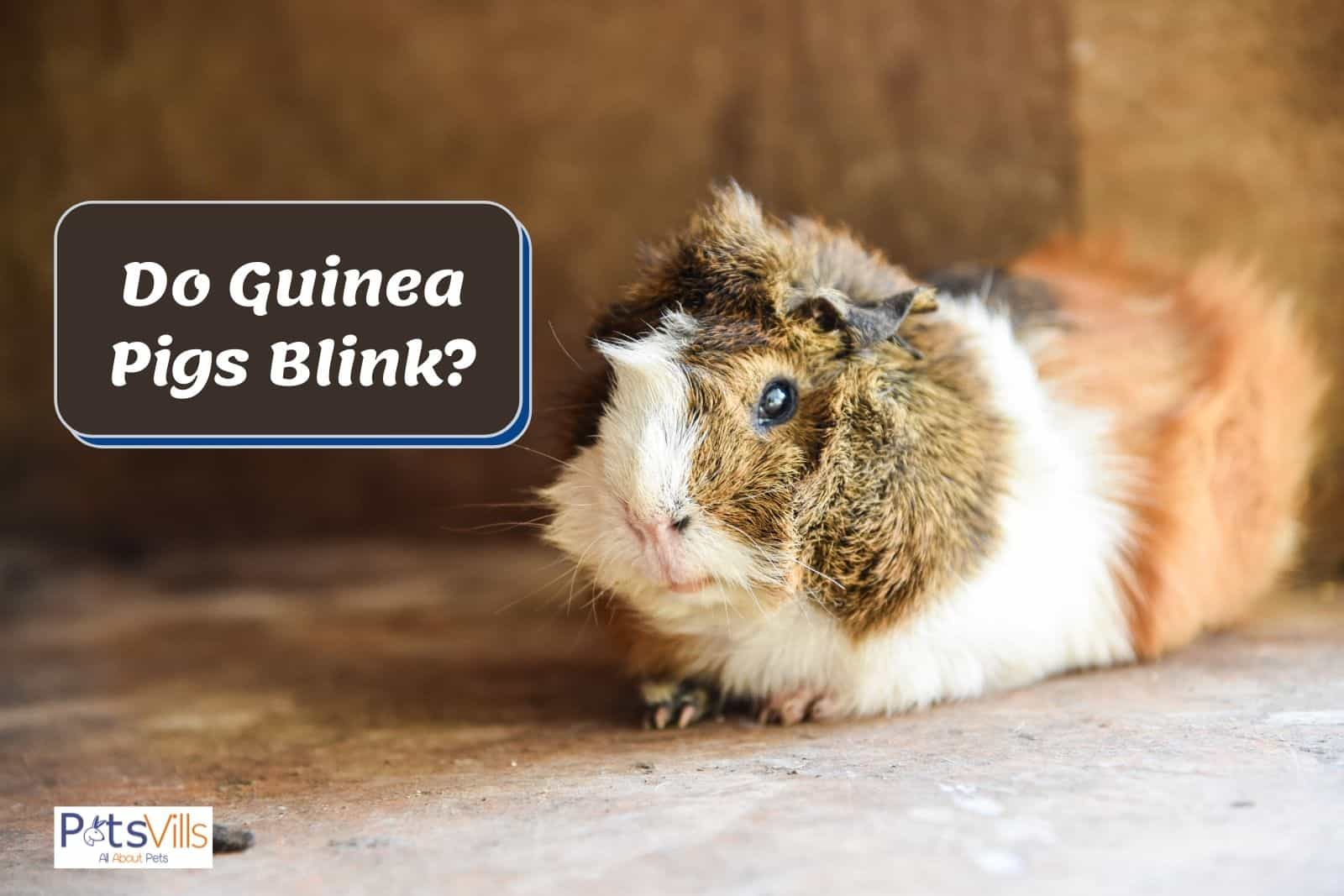 a guinea pig with blinking eyes at outside