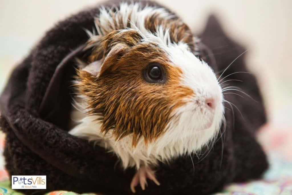 a guinea pig with warm pad, do guinea pigs hibernate