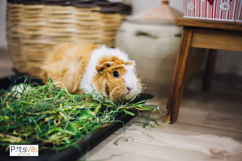a depressed guinea pig. can guinea pigs live on their own?