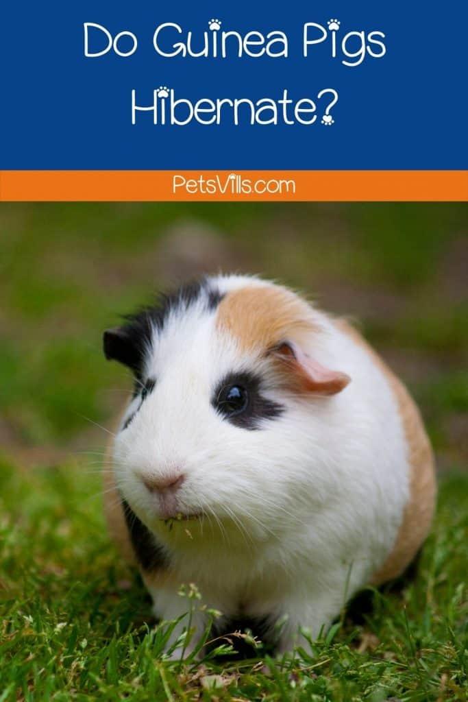 a guinea pig in wild
