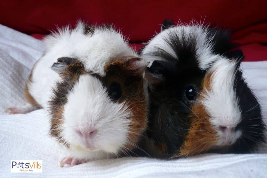 a pair of guinea pigs, do guinea pigs need to be in pairs