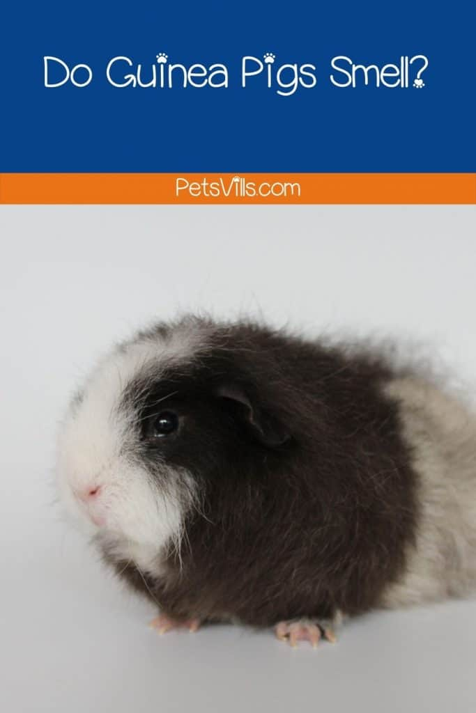 a multi color guinea pig, do guinea pigs smell