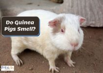 Do Guinea Pigs Smell? What to Do to Prevent it?