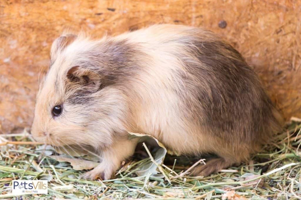 a guinea pig in dirt, do guinea pigs smell