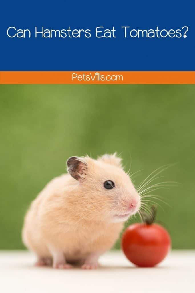 a hamster eating tomato, can hamsters eat tomatoes