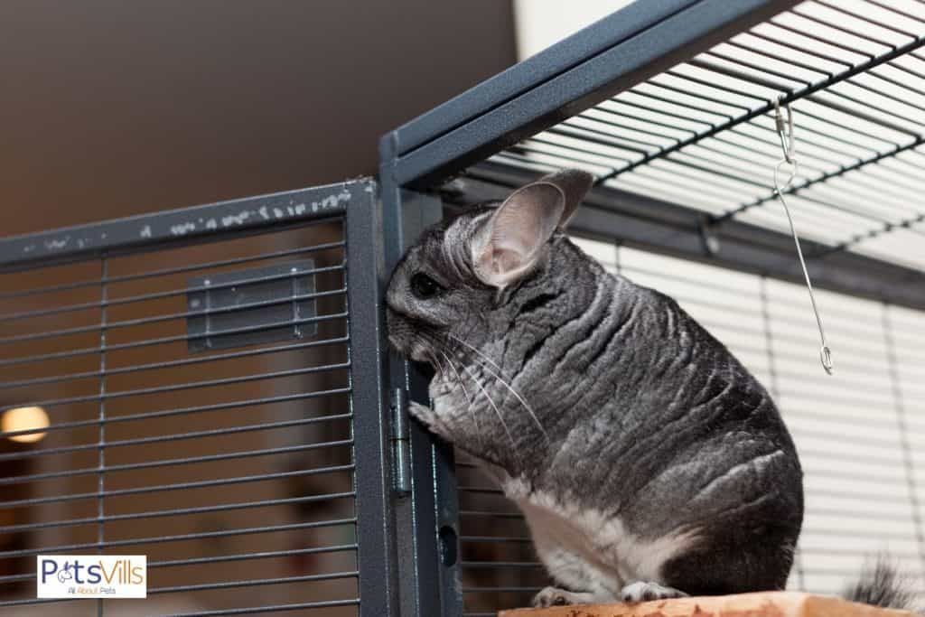 a chinchilla biting his cage