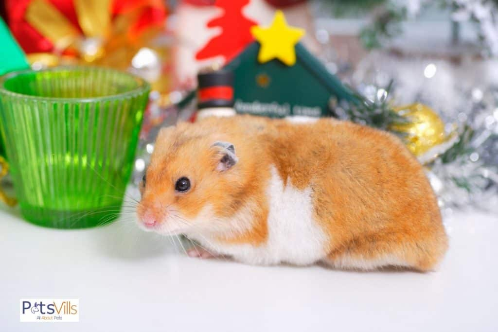 a hamster at home alone