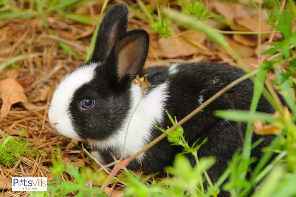a cute blank and white Dutch rabbit