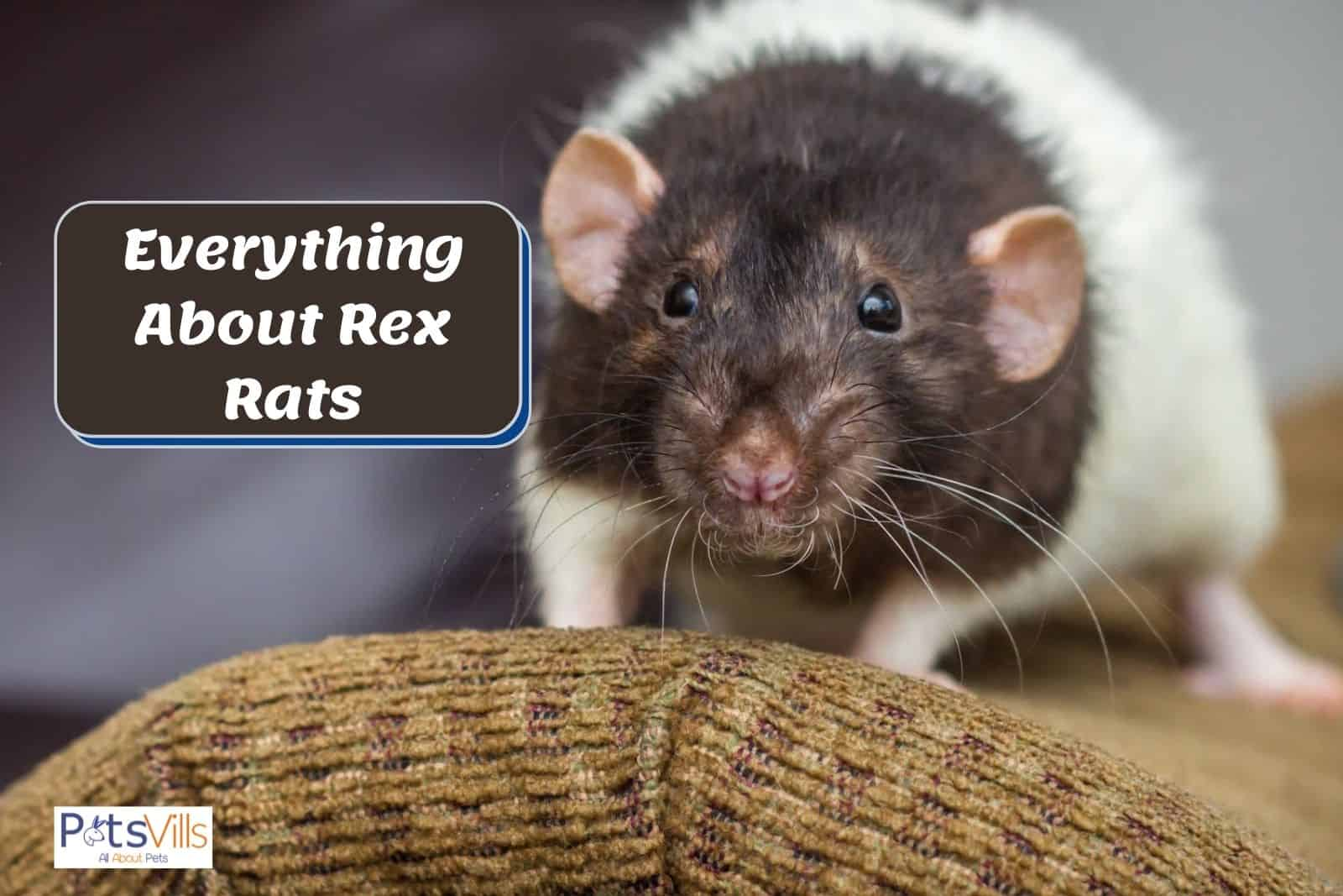 a multi color rex rat