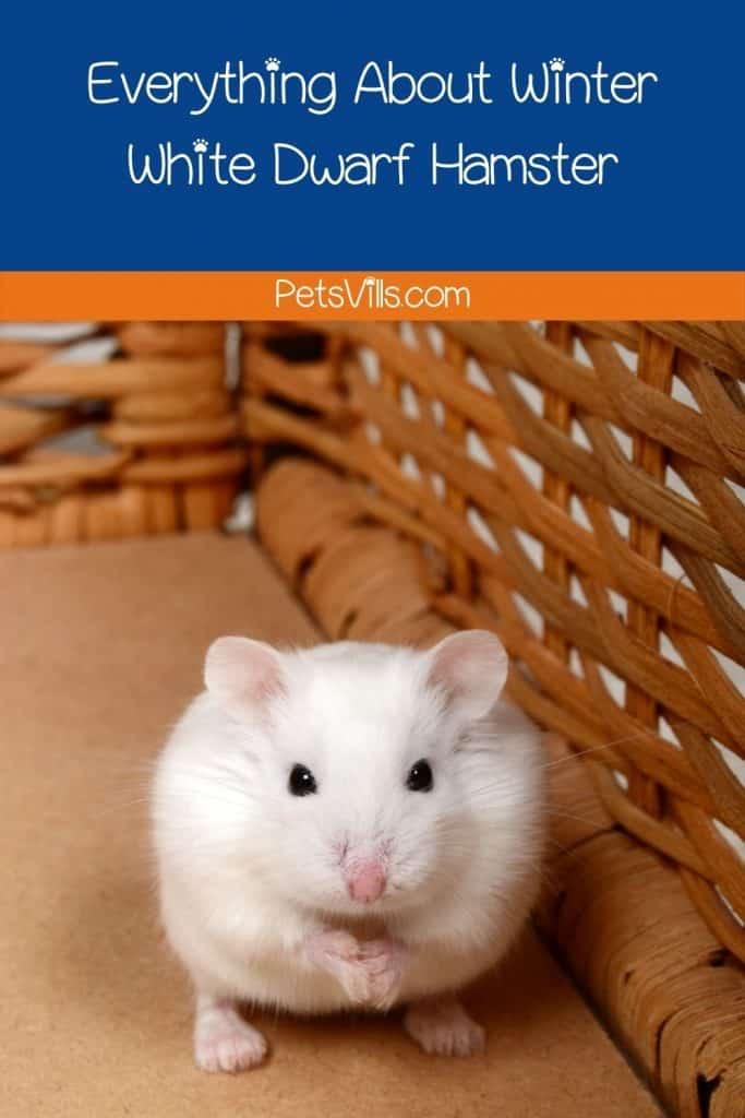 a cute winter white dwarf hamster