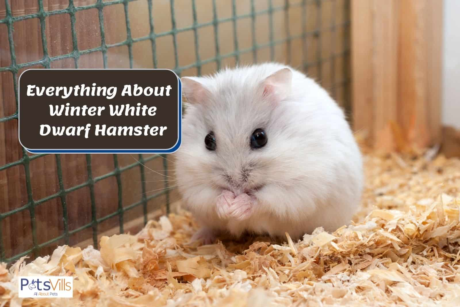 a cute winter white dwarf hamster in his cage
