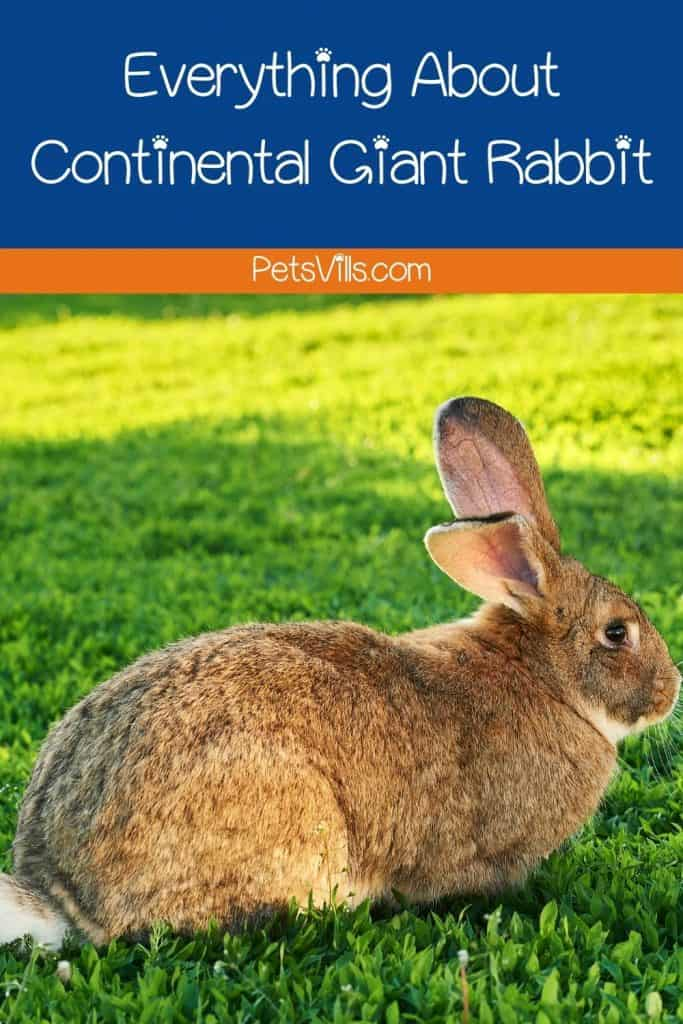 a continental giant rabbit at park