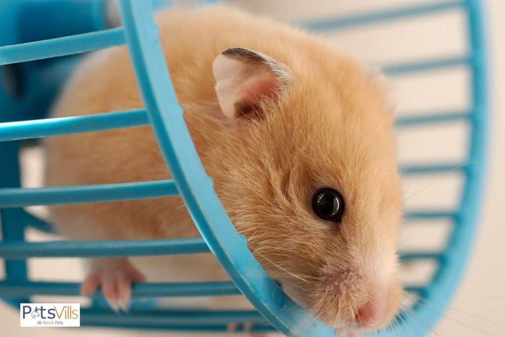 a hamster trying to jump out from the wheel, best hamster wheel