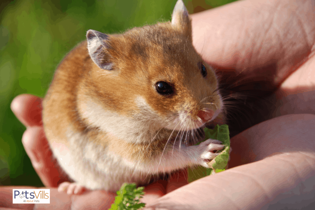 a pet sitter is taking care of  hamster