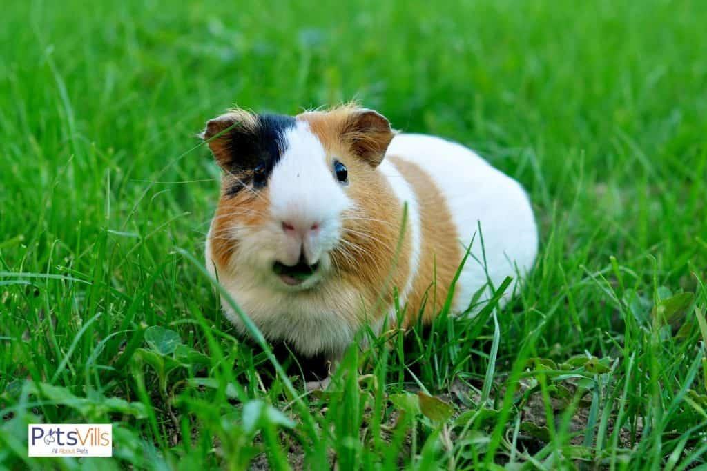 a guinea pig eating grass, how long do guinea pigs live