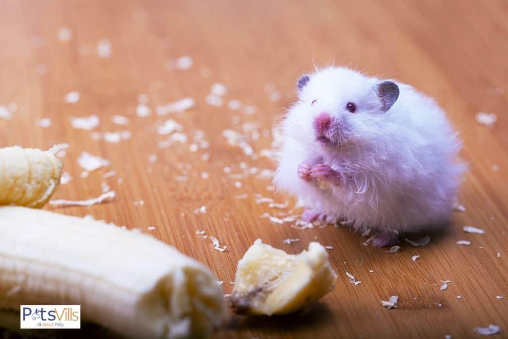 a hamster eating banana