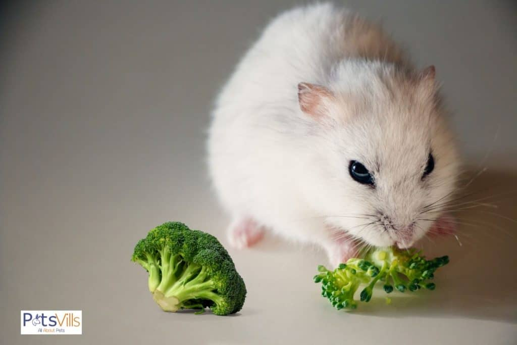 a hamster eating broccoli