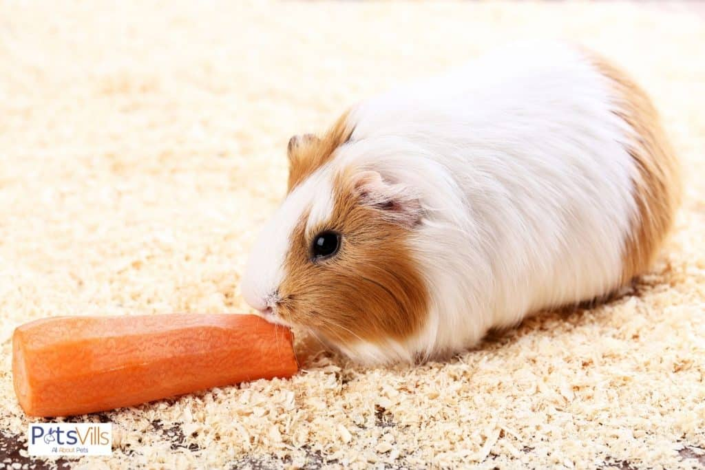 hamster is eating carrot, that is one of the best treats for hamsters