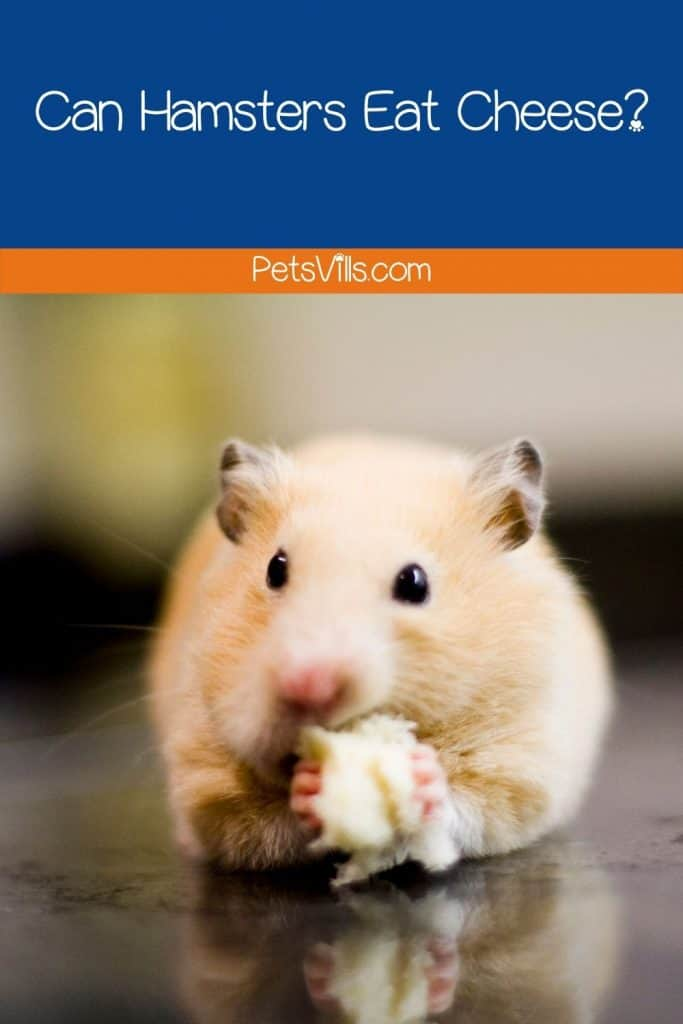 a hamster is eating cheese