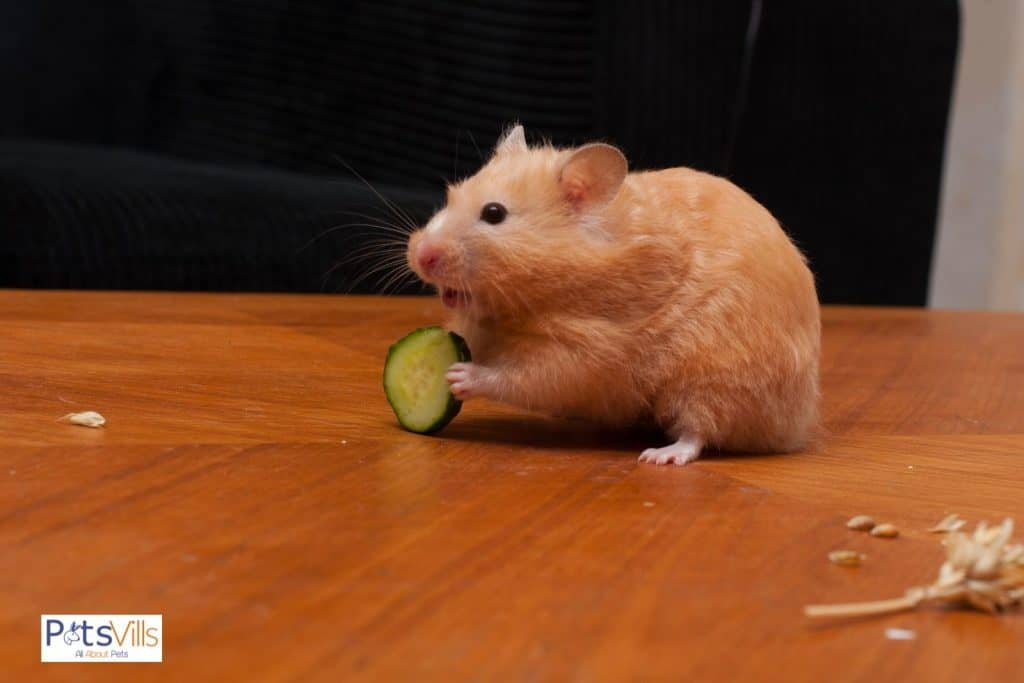 a hamster eating a small cube of cucumber