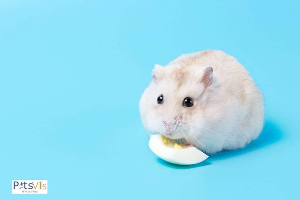 a cute hamster eating hard boiled egg