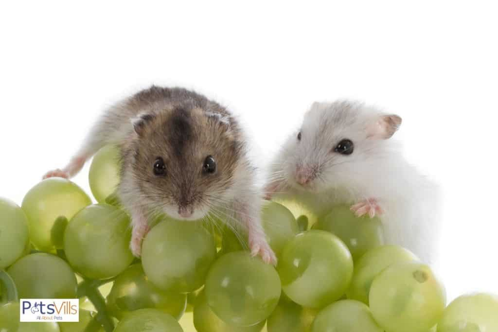 a cute pair of hamsters eating grapes, a best treat for hamsters