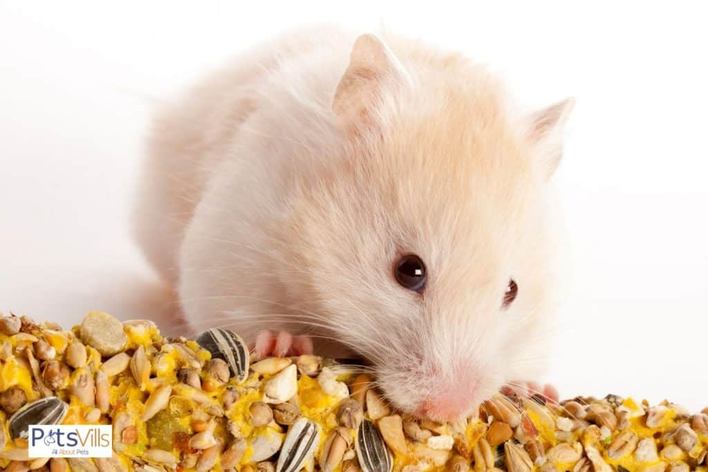 a hamster eating seeds as go-to treats for hamsters