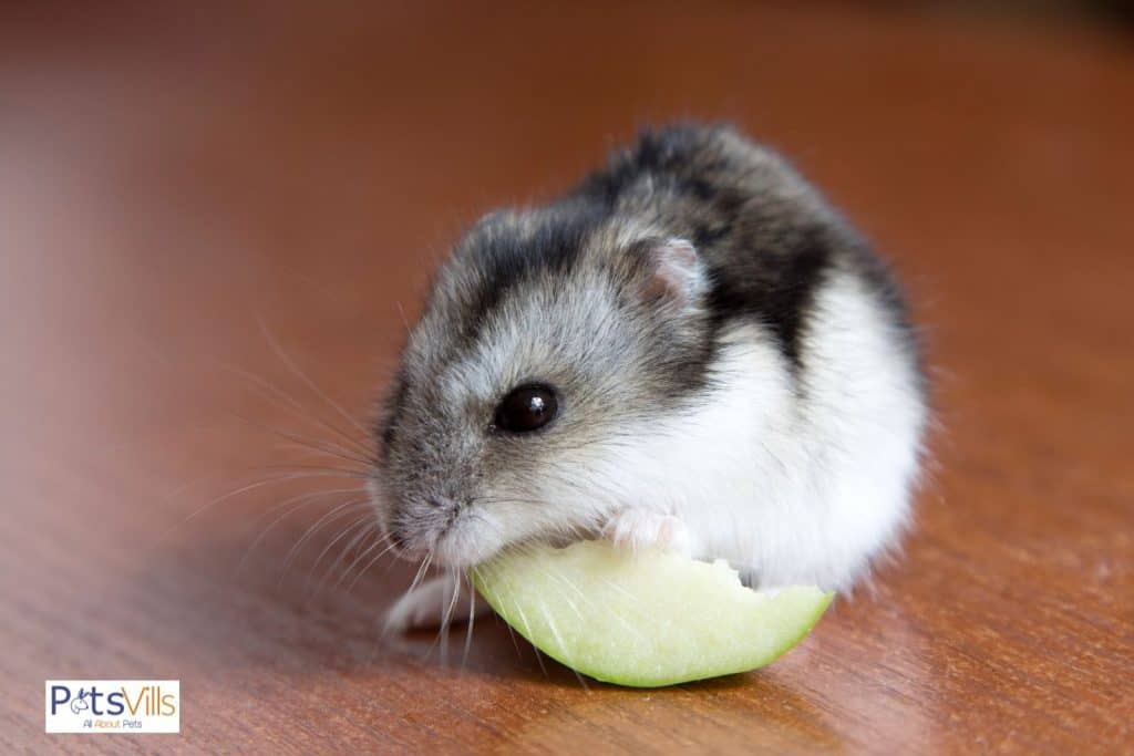 a hamster eating skinned apple