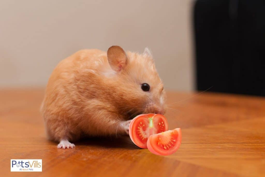 a hamster trying to eat tomatoes, can hamsters eat tomatoes