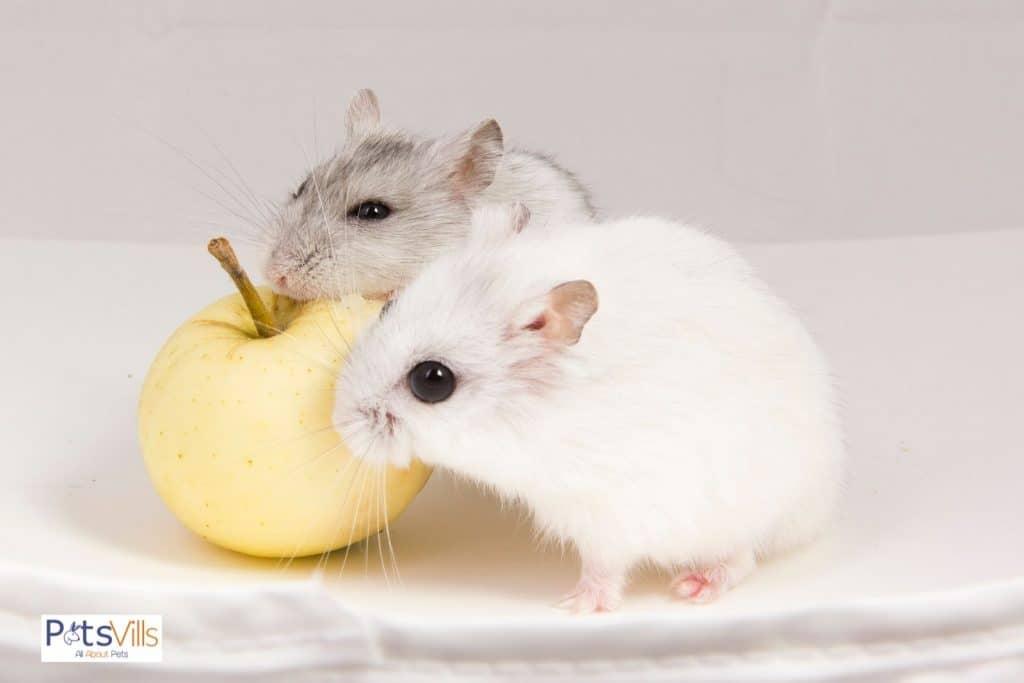a cute pair of hamster eating apple