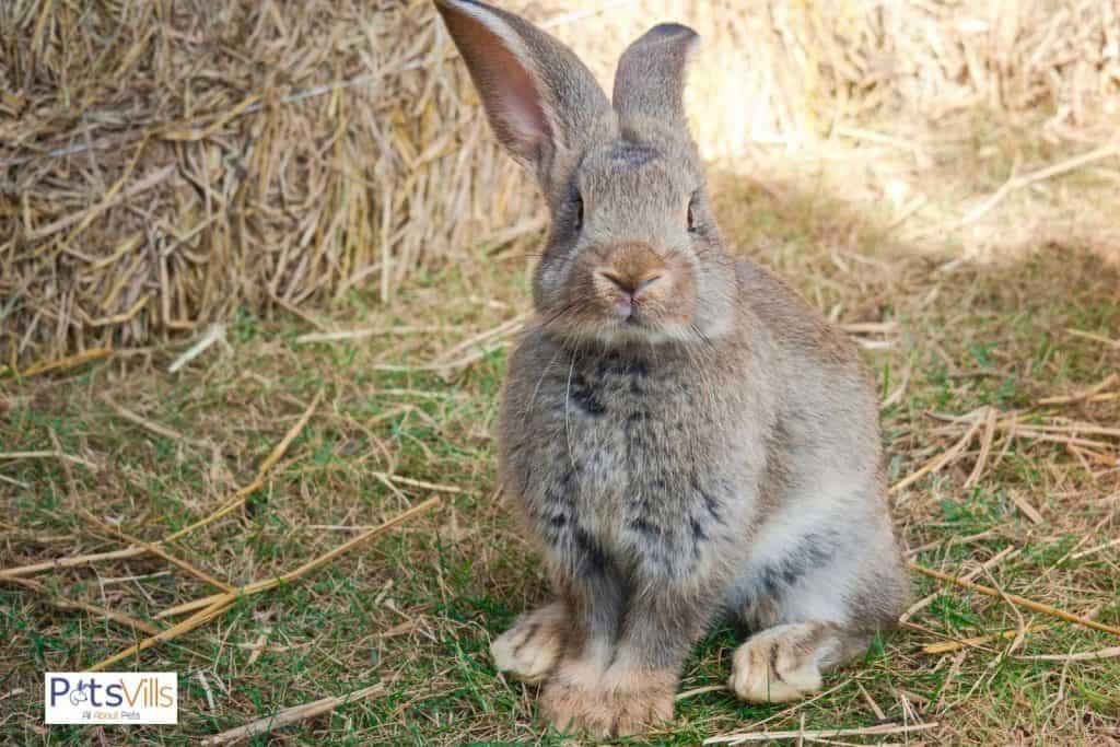 a continental giant rabbit, feeling pain on feet