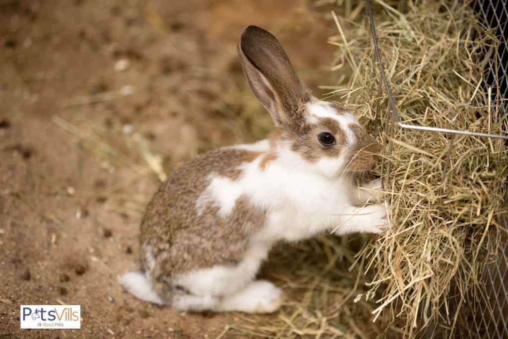 a dutch rabbit eating hay