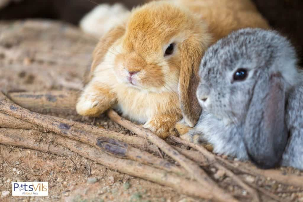a pair of holland lop rabbit in different colors