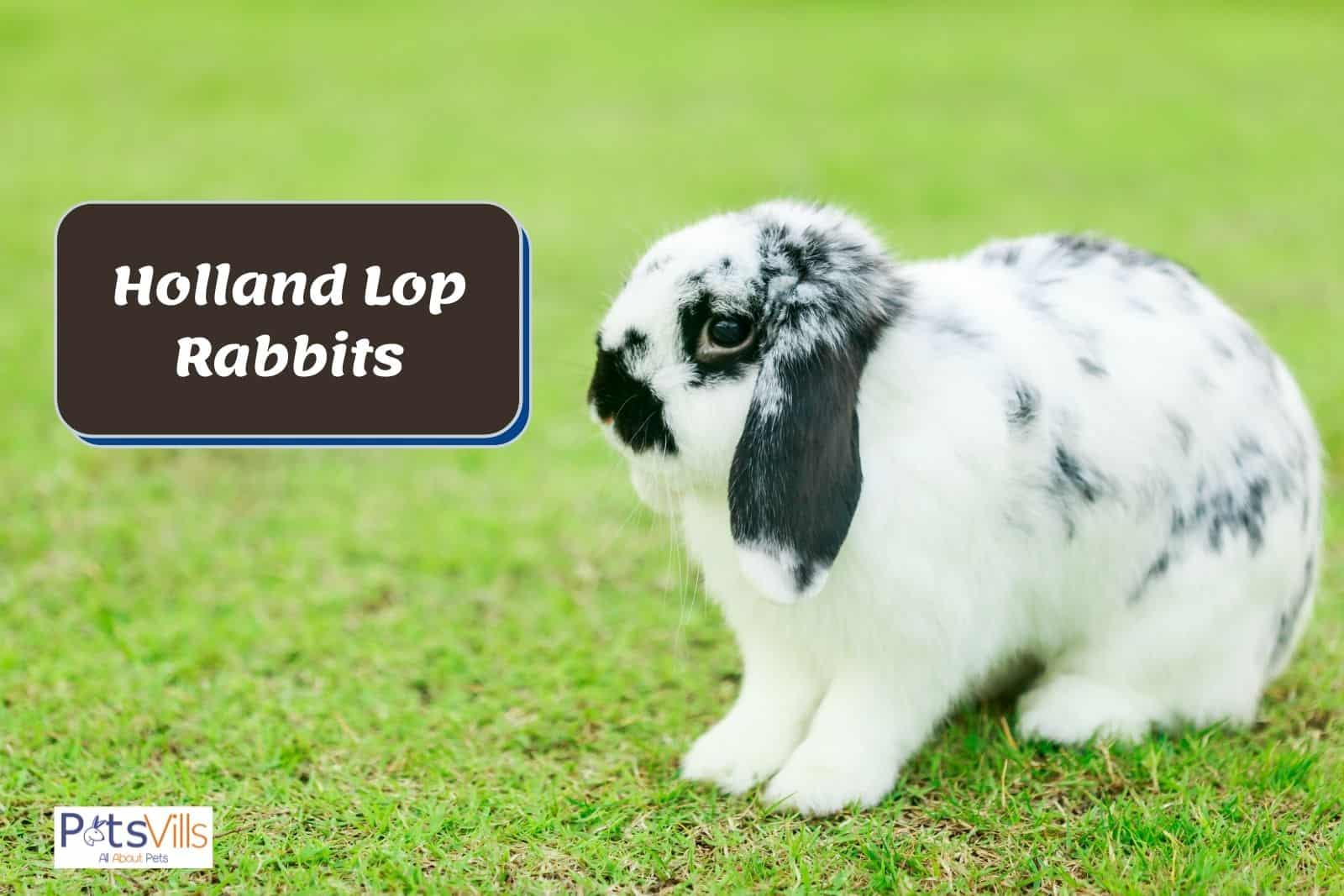 black and white Holland Lop Rabbit