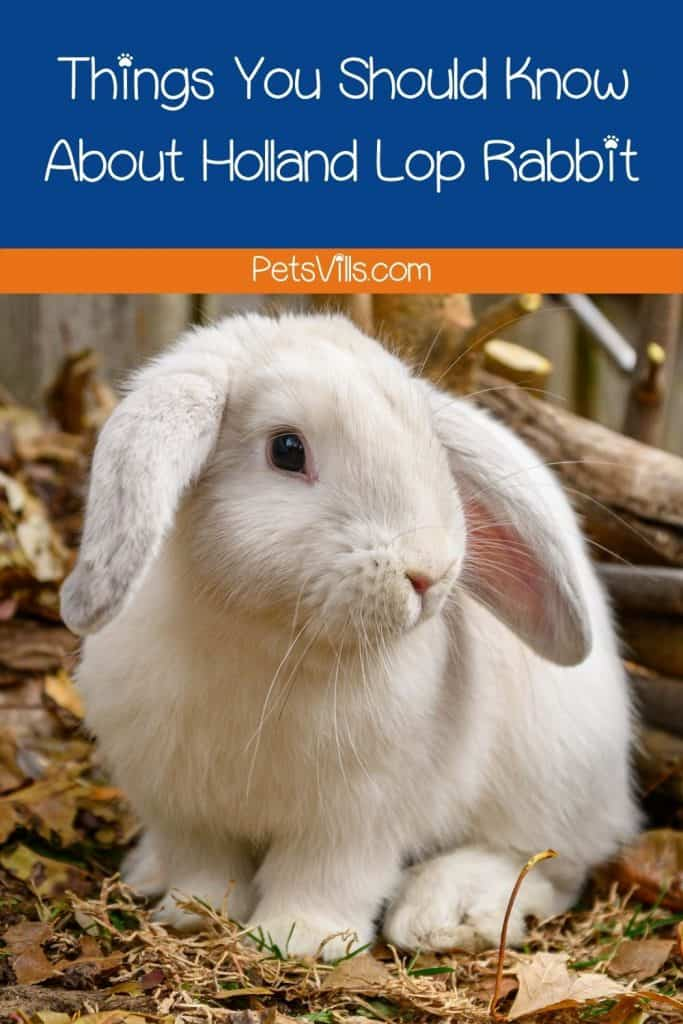 a cute white holland lop rabbit