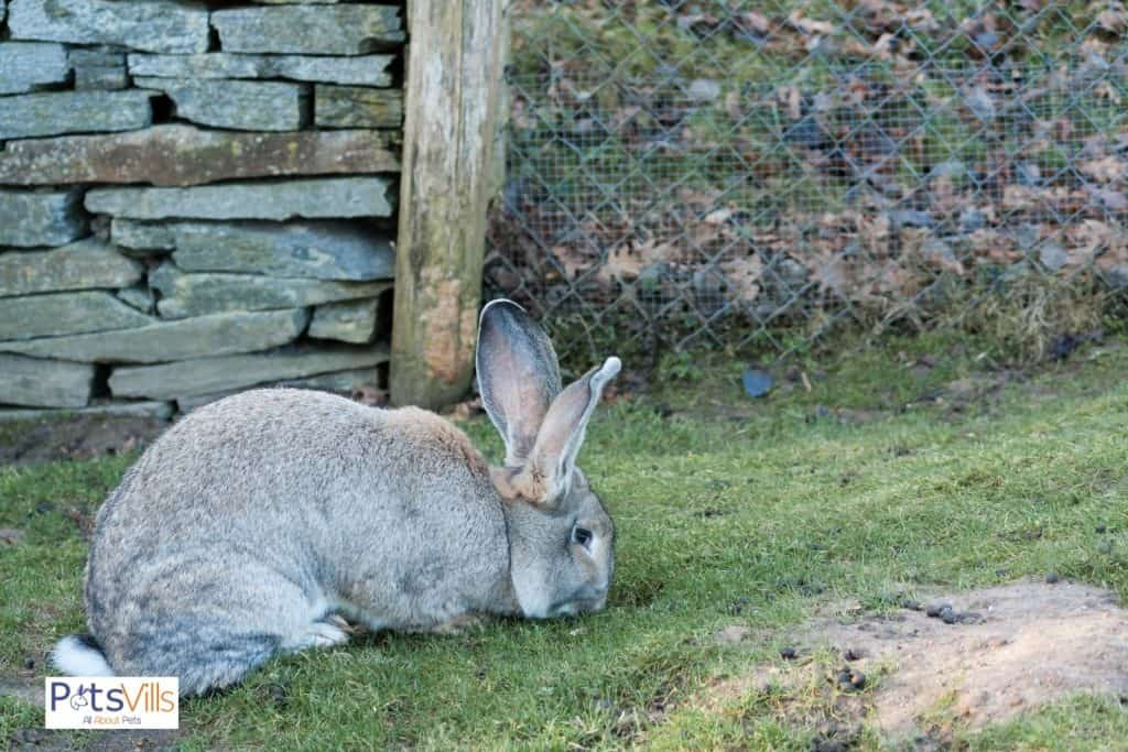a gray continental giant rabbit in a surrounded yard