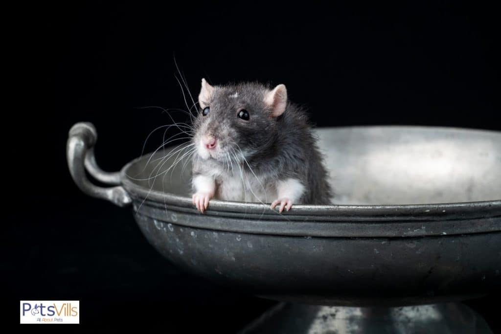 a rex rat in a play mood