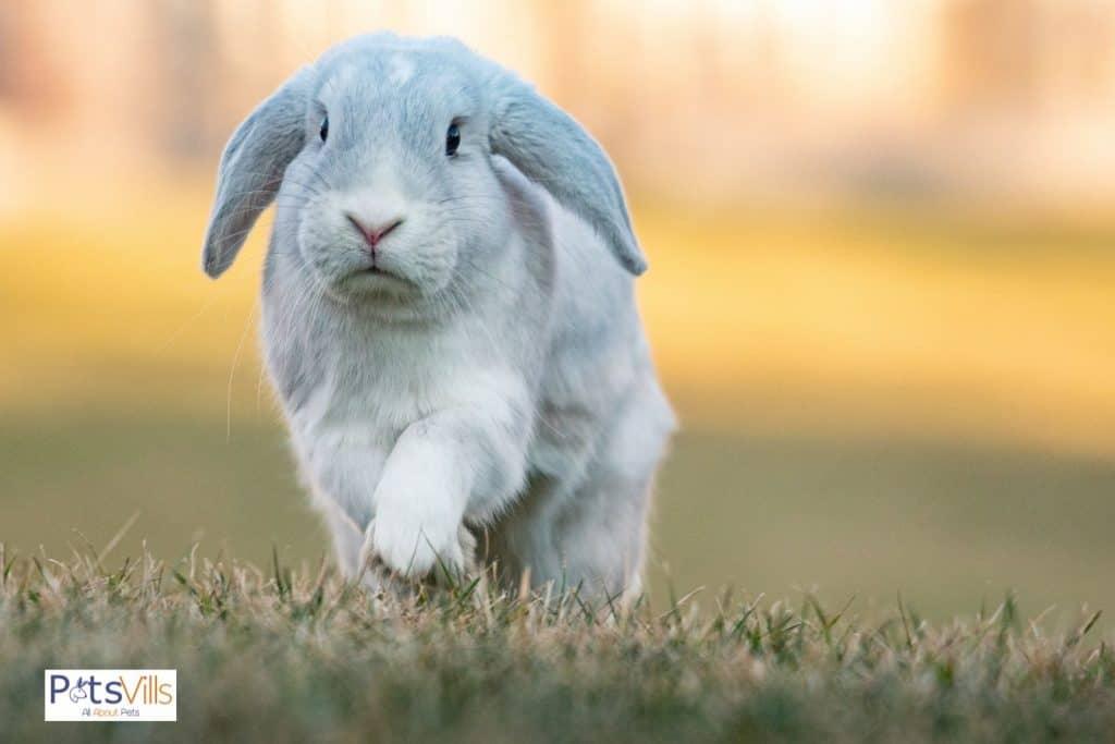 an active grey Holland lop rabbit