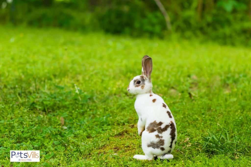 an active mini rex rabbit at grass